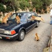 Czasami bardzo agresywne - dosłownie. Tu atak stada małp na samochód. Obok zaskoczona para z Niemiec.
