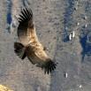Kondory nadlatują w ciszy bo... lecą jak szybowiec nie ruszając skrzydłami.