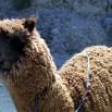 Alpaki są pod ochroną ale... ich mięso jest wysoko w górach najpopularniejszym daniem. Swetry też dość łatwo kupić.